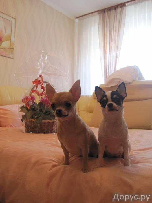 Очаровательные чихуа, шоколадики, к 1 сентября - Собаки и щенки - Родились великолепные мальЧИШКИ и..., фото 1