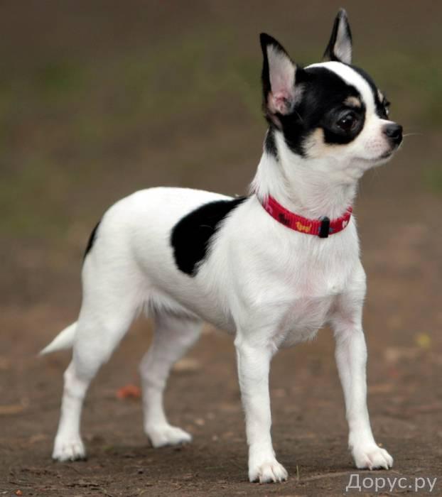 Очаровательные чихуа, шоколадики, к 1 сентября - Собаки и щенки - Родились великолепные мальЧИШКИ и..., фото 3